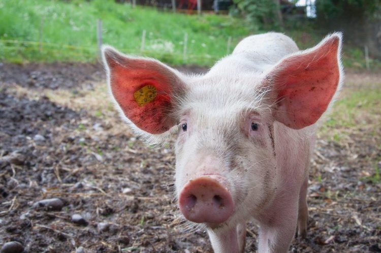 Híbridos entre humanos y cerdos, primer paso para el cultivo de órganos