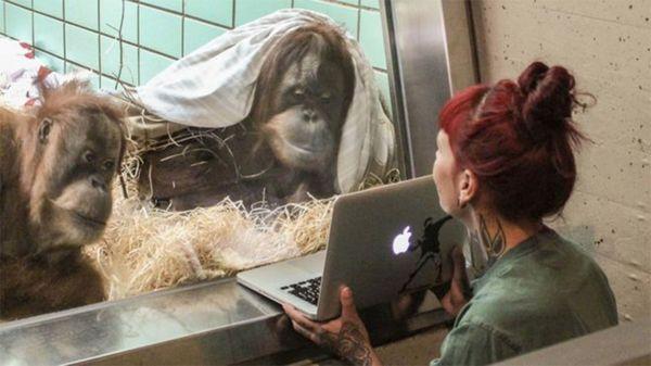 """Cómo es la """"aplicación de citas"""" para orangutanes"""