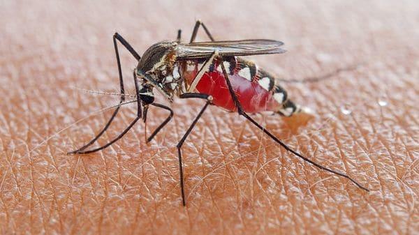La enfermedad se transmite por la picadura del mosquito Anopheles (iStock)