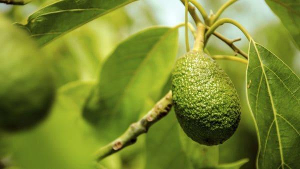 Nuevas investigaciones demostraron que la ingesta de la cáscara y la semilla de la palta podrían llegar a ser beneficiosas (iStock)