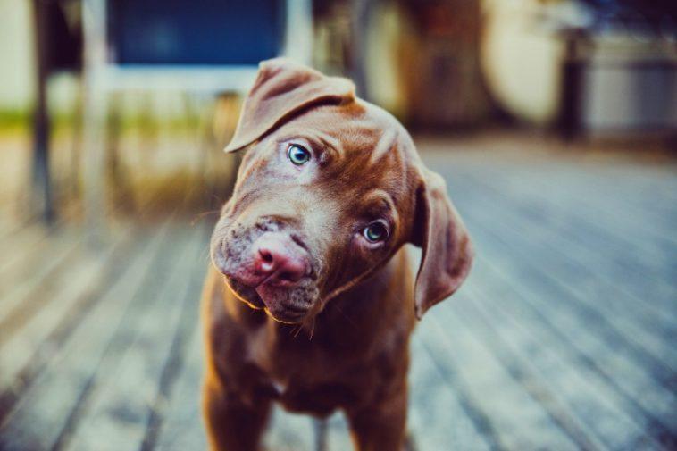 ¿Por qué tu perro inclina la cabeza cuando le hablas?