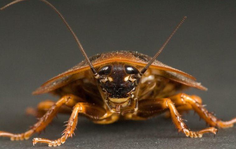 ¿Es cierto que las cucarachas pueden sobrevivir a la radiación de una bomba nuclear?